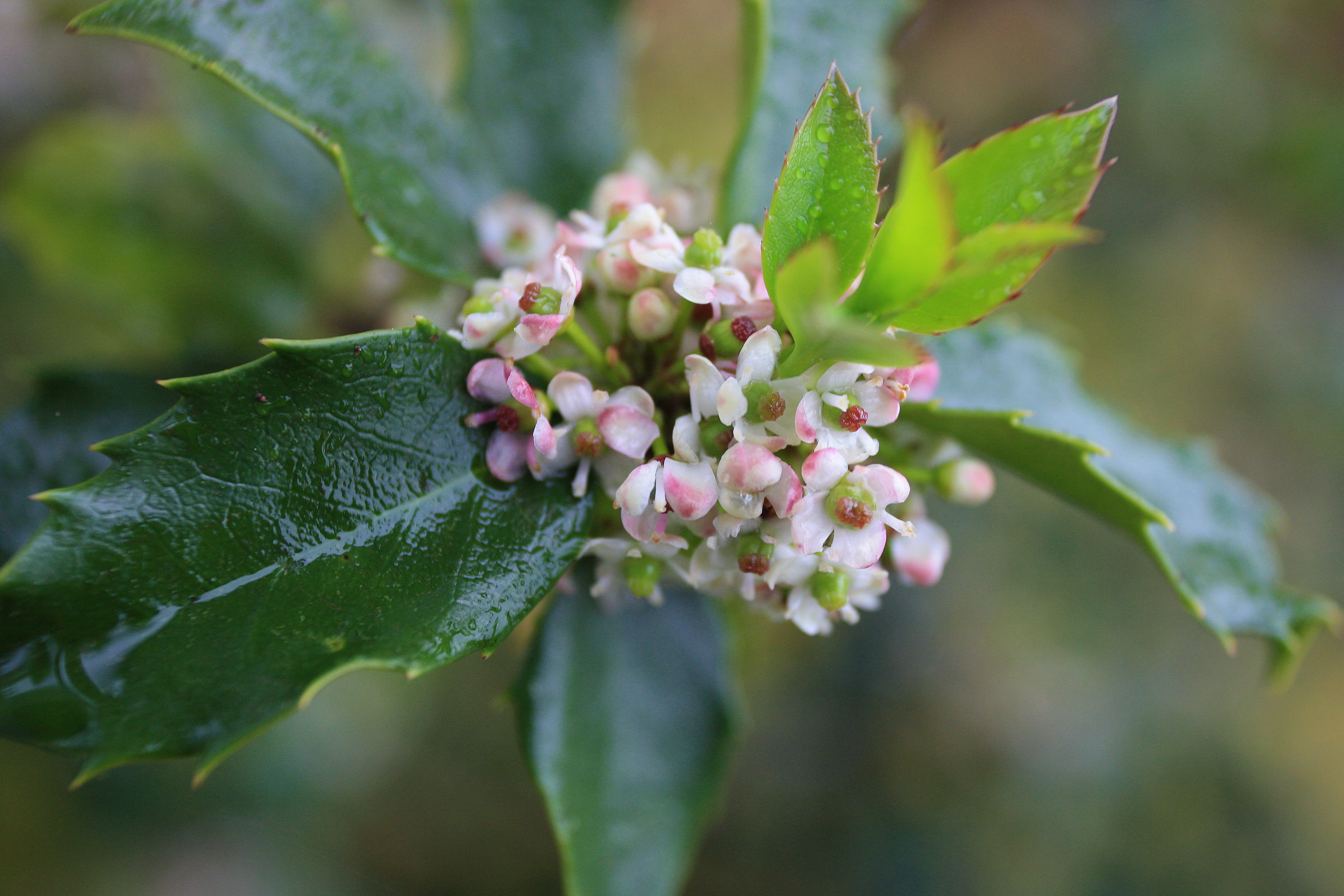 """""""spring blooms on a holly berry bush in Bristow, VA""""  By Amy Falkofske"""