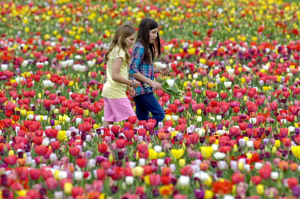 "Burnside Farms in Nokesville is said to have the largest ""Pick-Your- Own"" tulip event in North America."