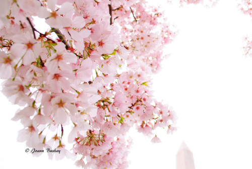 This photograph, by local photographer Joanne Bushay, won the early judges favorite in the 2013 FotoDC Cherry Blossom photography contest and was displayed in the Chrystal City underground. We hope you will get to enjoy the Chrry Blossoms this year!