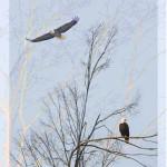 K-American Bald Eagles-LR