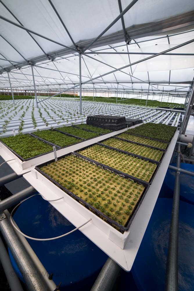 The hydroponic farm TrueFarms produces lettuce and herbs 52 weeks out of the year and sells directly to local restaurants and grocers.