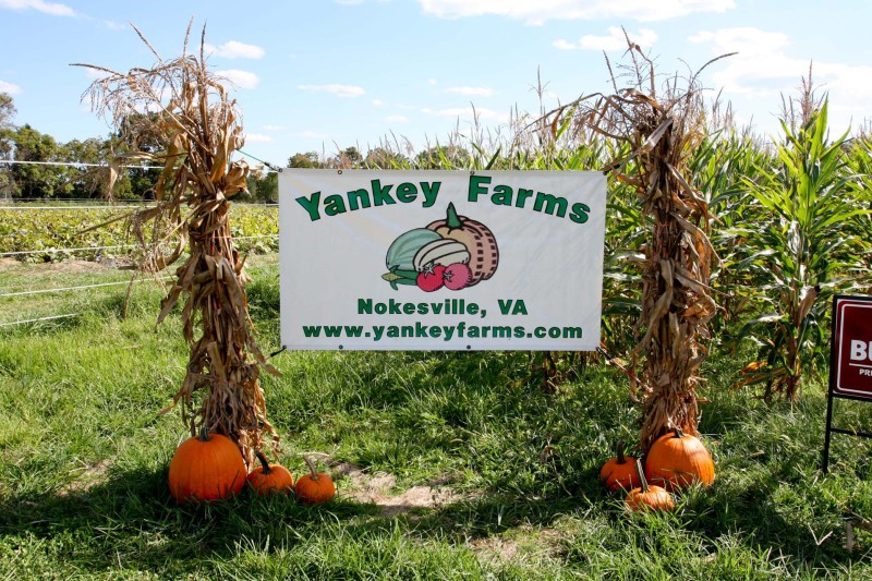 Yankey Farms offers more than just pumpkins. They have many activities for the whole family including a corn maze, as well as numerous fall fruits and vegetables.