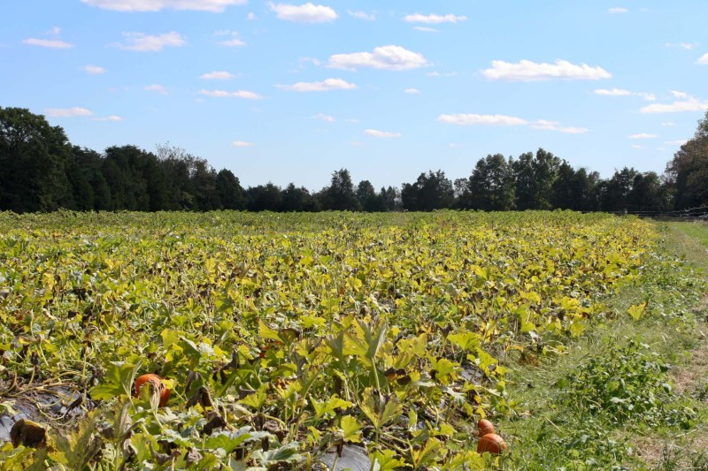 """The """"pick-your-own-pumpkin"""" patch at Yankey Farms is a fall favorite for local residents."""