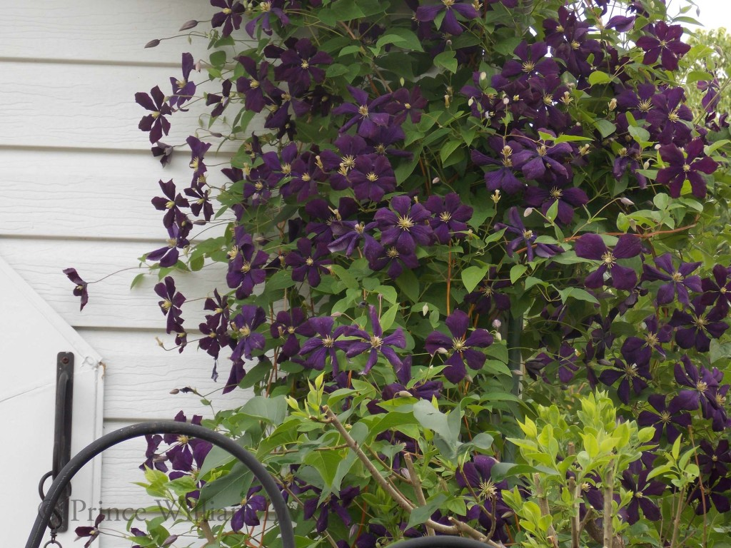 How to plant clematis 40