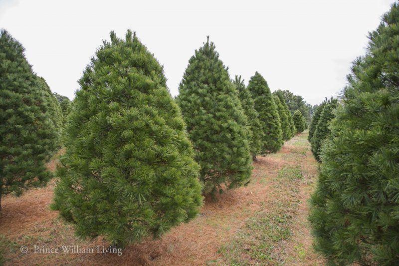 Harlan Tree Farm in Nokesville